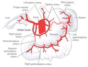 celiac disease (cd) also called gluten intolerance, coeliac, Human body