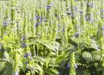 Chia Plant