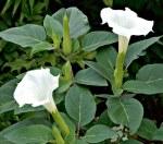 Datura (Datura Meteloides)
