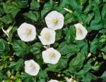 Moonflower (Vine Ipomoea Alba)