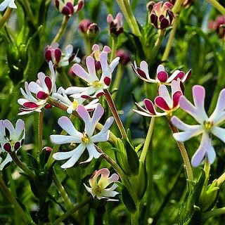 Night Phlox (Zaluzianskya Capensis)