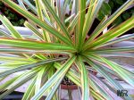 Red-Edged Dracaena (Dracaena Marginata)