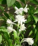 Tuberose (Polianthes Tuberosa)