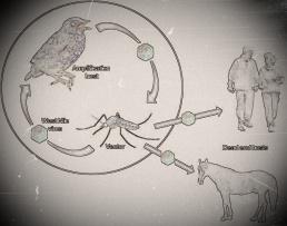 Transmission of West Nile Virus Cycle