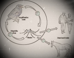 Transmission of West Nile Virus Cycle