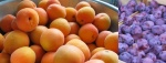 Apricots and Prunes