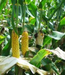 Corn or Maize